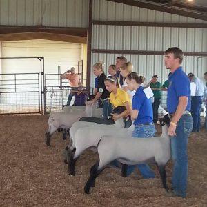 Fair Sheep